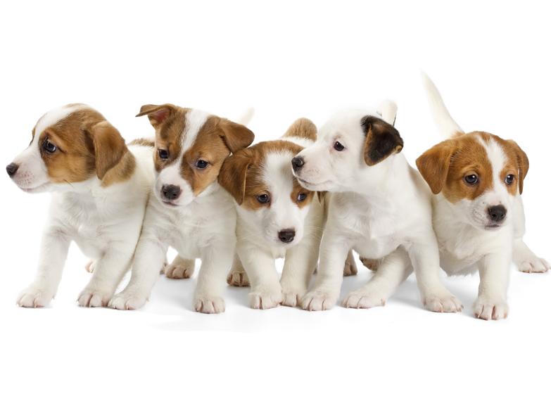 Groepjes Jack Russel puppy's