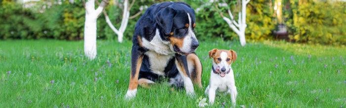Kleine- en grote hondenrassen
