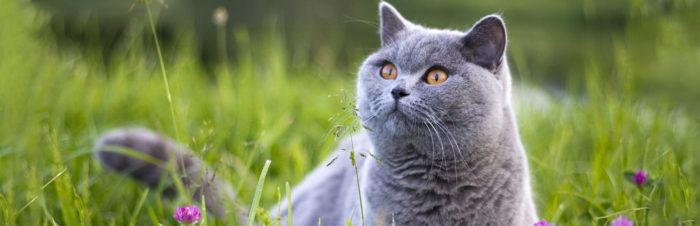 Populaire kattenrassen en hun karakter