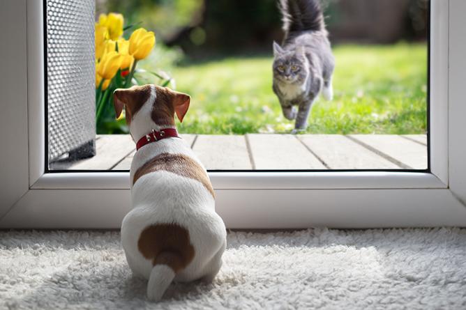Jack Russel hond kijkt rustig uit raam - grijze kat rent actief