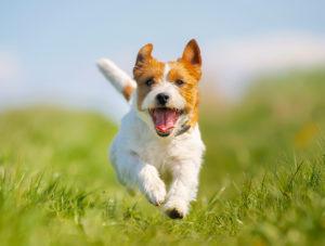 Kleine hond wit met bruin rent blij over grasveld