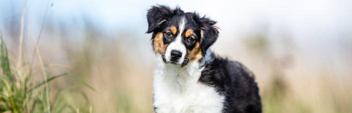 Overstappen van puppy- op volwassen voer