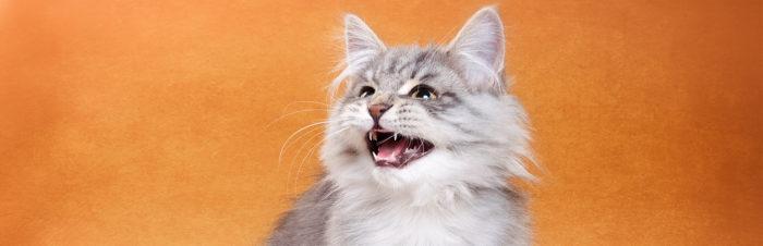 MeowTalk: praten met jouw kat